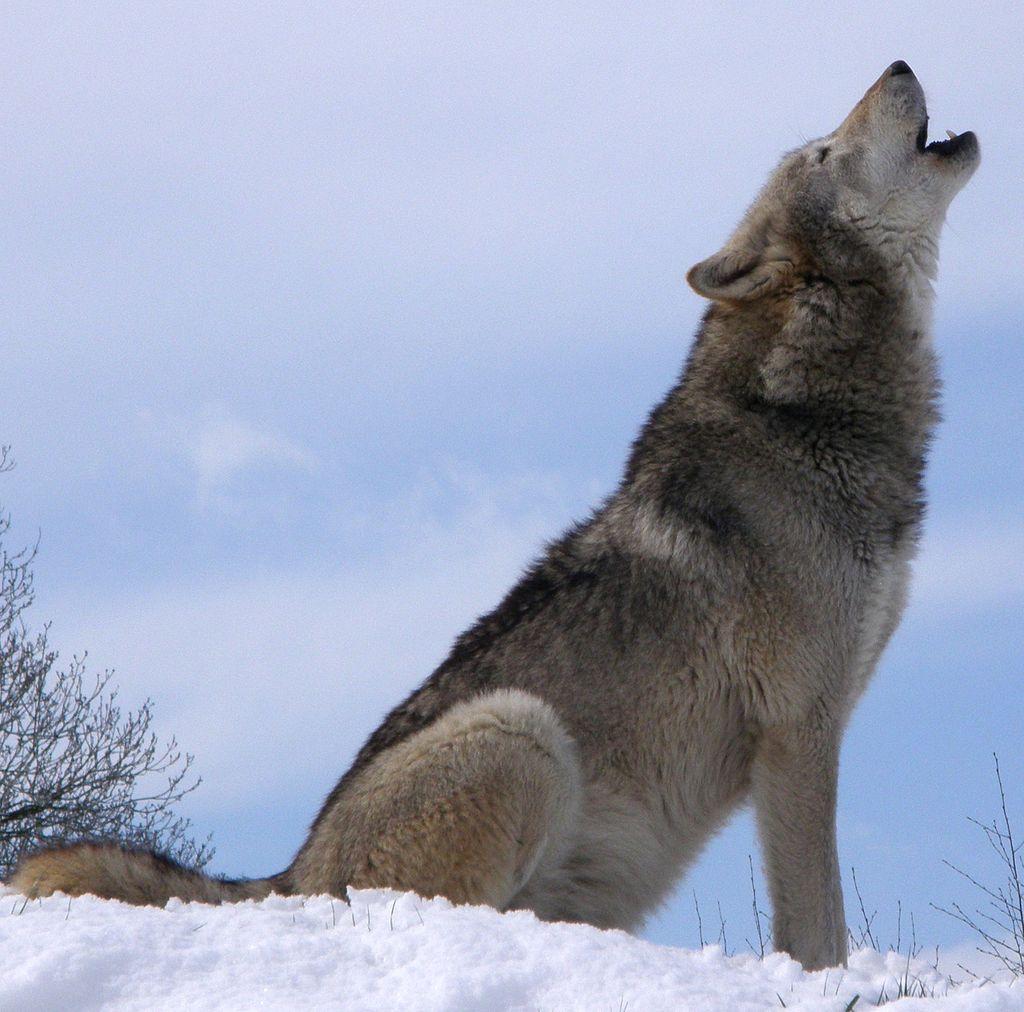 Lobo gris Turquía